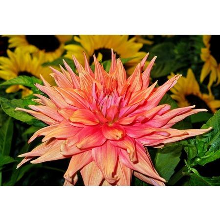 - LAMINATED POSTER Pink Bloom Dahlia Flower Flora Blossom Petals Poster Print 24 x 36