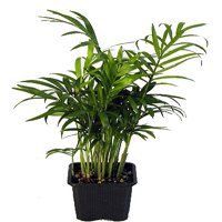 """Hirt's Victorian Parlor Palm - Chamaedorea  - 4"""" Pot - Live Plant"""