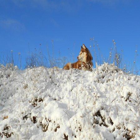 LAMINATED POSTER Siberian Husky Mammals Dog Pet Poster Print 24 x 36 ()