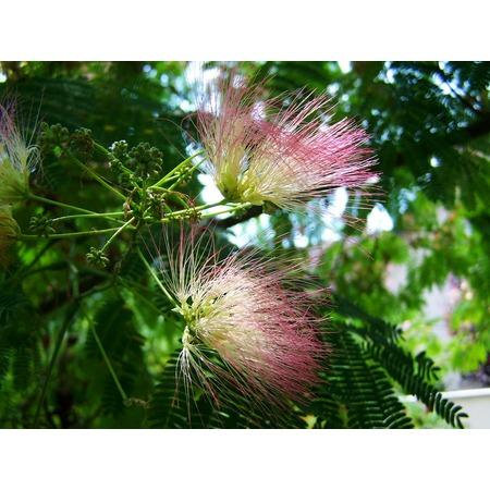 LAMINATED POSTER Japan Silk Acacia Mimosa Pink Flower Poster Print 24 x 36