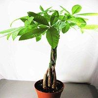 9GreenBox - Rare Mini Pachira Five Braided Tree Bring Luck Pachira Houseplant Bonsai