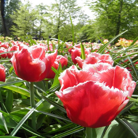 LAMINATED POSTER Garden Nature Flowers Plant Tulips Flower Spring Poster Print 24 x 36