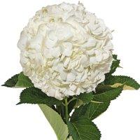 Natural Fresh Flowers - White Hydrangeas, 40 Stems