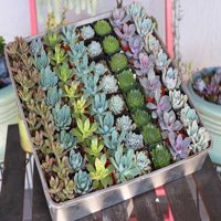 """One 2"""" Rosette Succulent from The Succulent Source - Succulents for all occasions"""