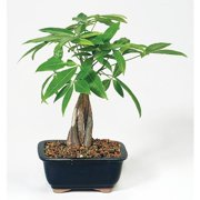 9greenbox Live 10 12 Money Tree Bonsai