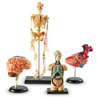 Learning Resources Anatomy Models Bundle Set, Brain, Body, Heart, Skeleton, Grades 3+