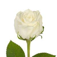 """Natural Fresh Flowers - White Roses, 16"""", 125 Stems"""
