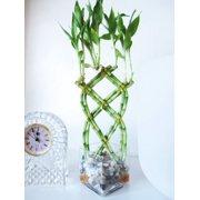 Lucky Bamboo Plants
