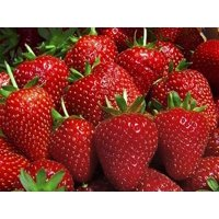 25 Eve Everbearing Strawberry Plants - BEST BERRY! - Bare Root Plants