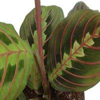 "Hirt's Red Prayer Plant - Maranta - Easy to Grow House Plant -4"" Pot- Live Plant"