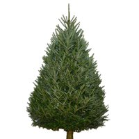 Deals on Shatley Farms 5ft-6ft Real Fraser Fir Christmas Tree