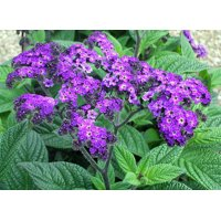 "Cherry Pie Plant - Heliotrope - Extremely Fragrant - Indoors or Out - 4"" pot"