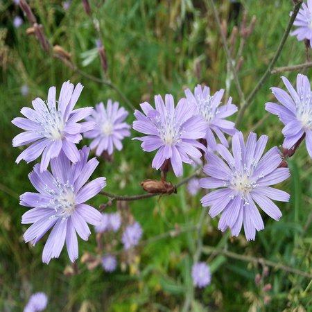 LAMINATED POSTER Purple Petals Chicory Flowers Stalks Grass Macro Poster Print 24 x 36