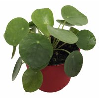 "Chinese Money Plant - Pass It On Plant - UFO Plant - Pilea peperomioides -4"" Pot"