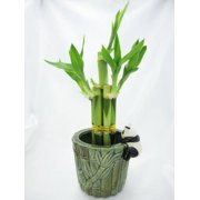 9greenbox Live 5 Style Lucky Bamboo Plant Arrangement With Ceramic Panda Vase
