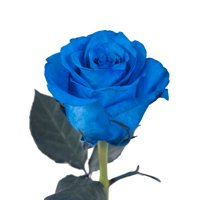 """Natural Fresh Flowers - Tinted Blue Roses, 20"""", 50 Stems"""