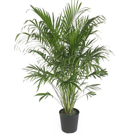 Delray Plants Cat Palm (Chamaedorea cataractarum) Easy to Grow Live ...
