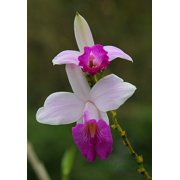 Bamboo Orchid Roots Hawaiian - Apx. 2 - 3 inch by Discount Hawaiian Gifts