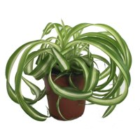 "Bonnie Curly Spider Plant - Easy - Cleans the Air - 4"" Pot"