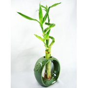 9greenbox Live Spiral 3 Style Lucky Bamboo Plant Arrangement W Green Round Ceramic Vase