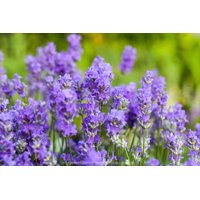 Blue Cushion French Lavender - Very Fragrant/Compact - Quart Pot - Indoors/Out