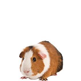 Guinea Pig Supplies